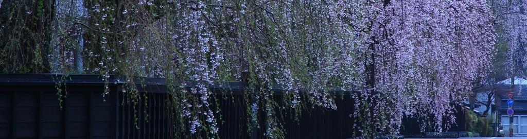 top_03-1024x270(春04月枝垂桜)